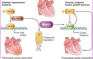 Hypertrophy vs apoptosis: what are the relevant triggers?_18.jpg