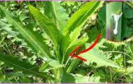 Similar-to-Morphine-The-Best-Natural-Painkiller-that-Grows-in-Your-Backyard-1-890x395_c.jpg