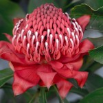 Benefits Of AFRICAN PEACH PINCUSHION TREE (2)