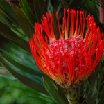 Benefits Of AFRICAN PEACH PINCUSHION TREE (3)