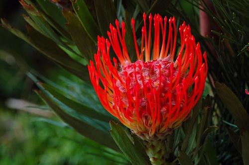 Benefits Of: AFRICAN PEACH PINCUSHION TREE