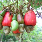 Benefits Of: CASHEW APPLE_6.jpg