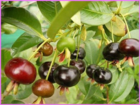 Benefits Of: GRUMICHAMA, BRAZILIAN CHERRY_12.jpg