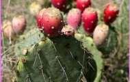 Benefits Of: PRICKLY PEAR INDIAN FIG TUNA_0.jpg