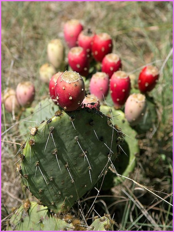 Benefits Of: PRICKLY PEAR INDIAN FIG TUNA