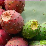 Benefits Of: PRICKLY PEAR INDIAN FIG TUNA_1.jpg