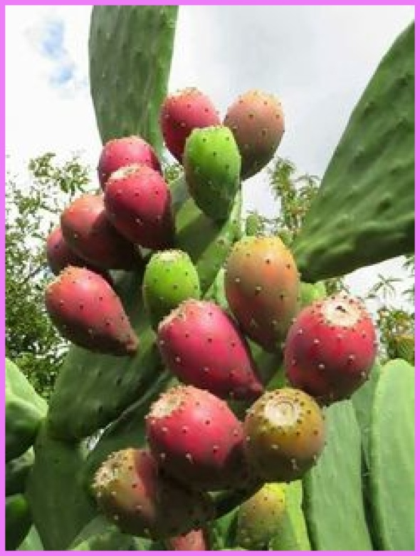 Benefits Of: PRICKLY PEAR INDIAN FIG TUNA_4.jpg