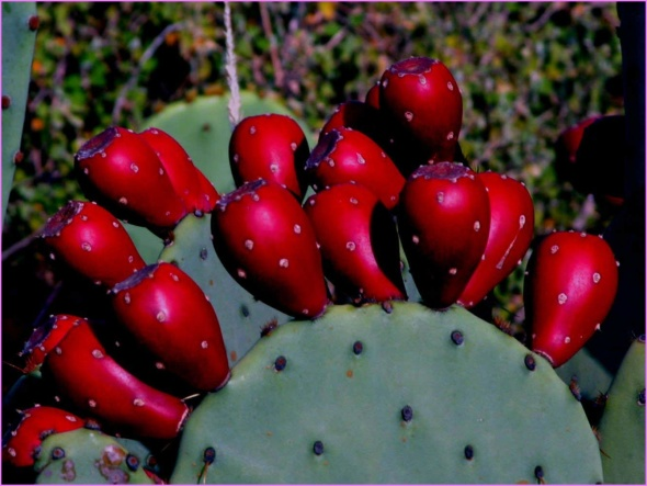 Benefits Of: PRICKLY PEAR INDIAN FIG TUNA_7.jpg