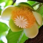 elephant-apple-flower