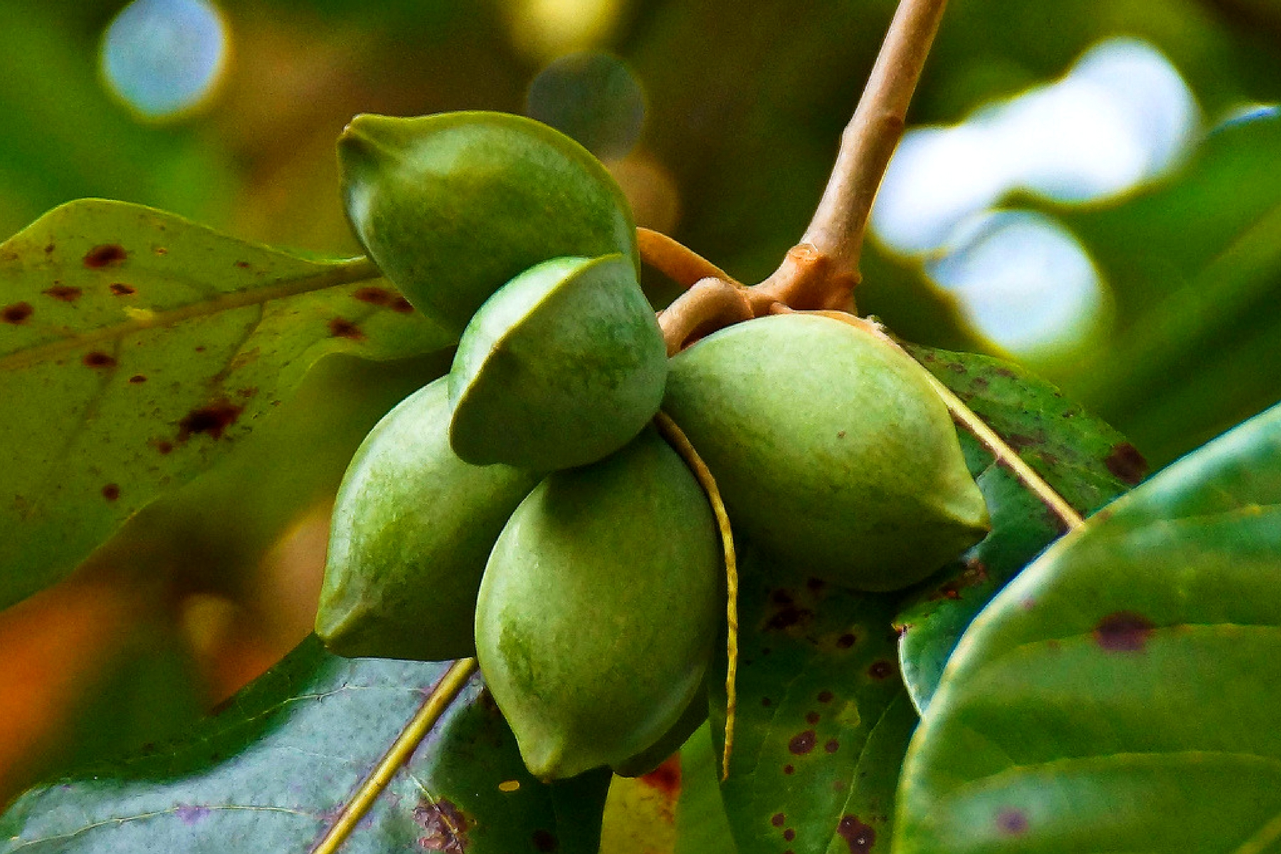 17-awesome-benefits-of-the-tropical-almond