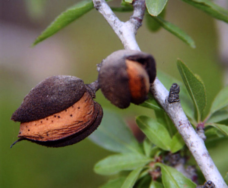 Benefits Of: TROPICAL ALMOND INDIAN ALMOND