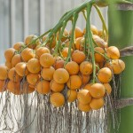 nurserylive-Areca-Catechu-seeds8 (2)