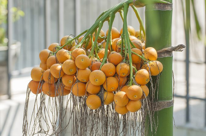 nurserylive-Areca-Catechu-seeds8 (2)