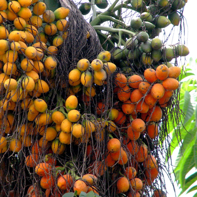 Benefits Of: BETEL NUT ARECA PALM