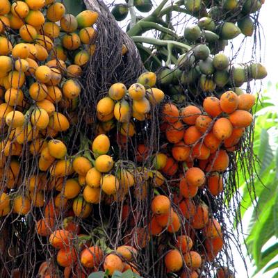 Benefits Of: BETEL NUT ARECA PALM